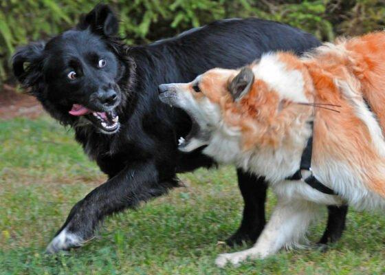 Hund während Hunderauferei verletzt