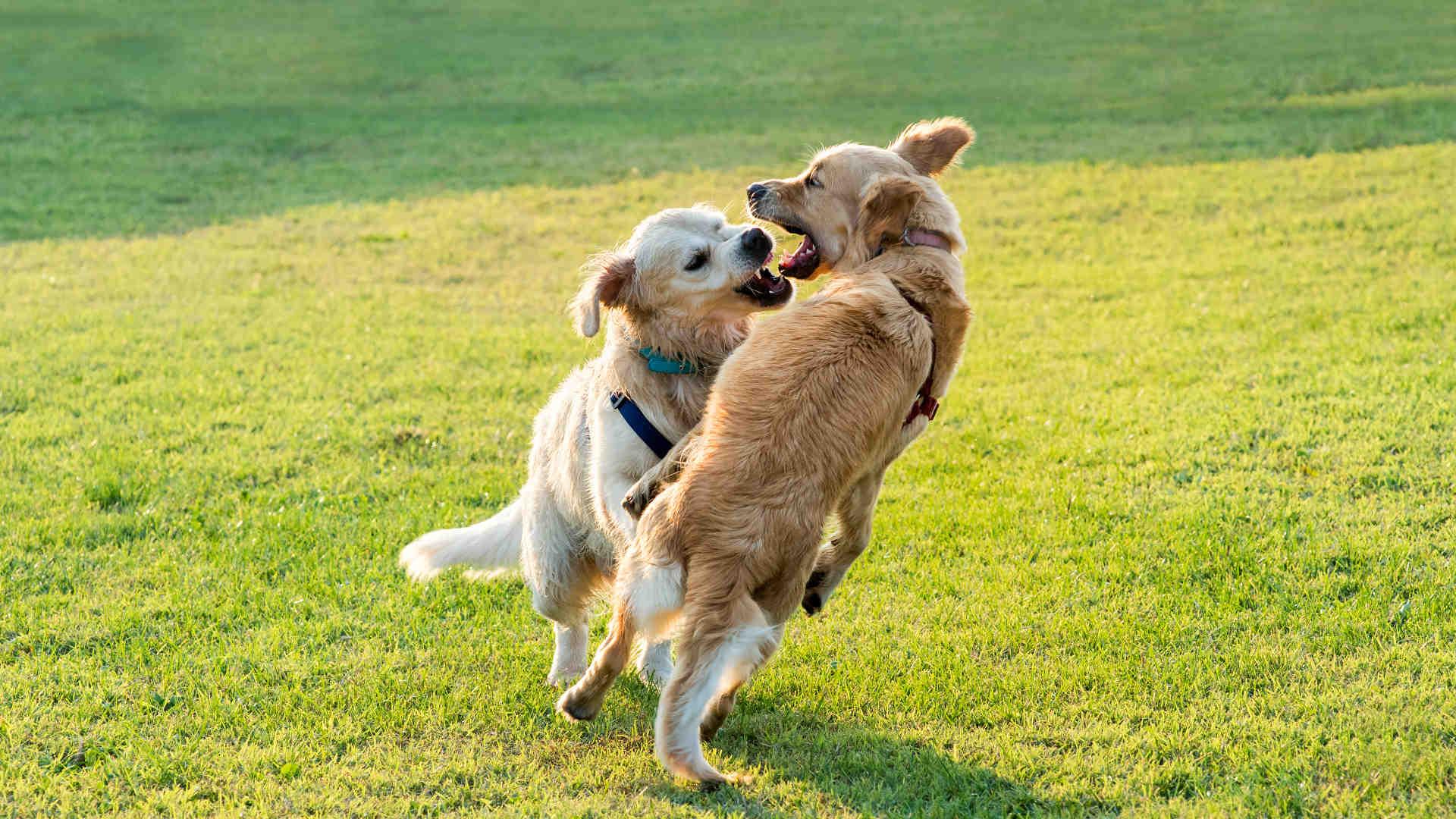 Hund wird von anderem Hund gebissen
